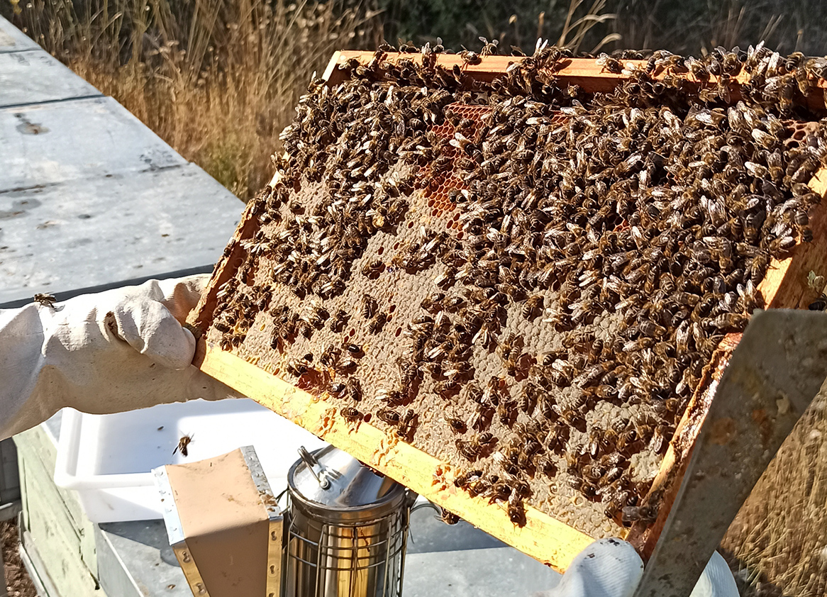 Alimentar las abejas con hongos mejora su sistema inmunitario