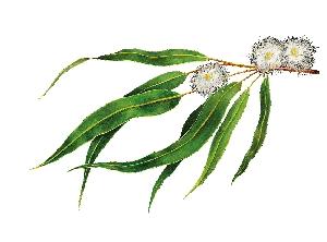 Propietats de Eucaliptus | Mel Eucaliptus Alemany 980g