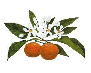 Flor de taronger | Mel de taronger Alemany 250g